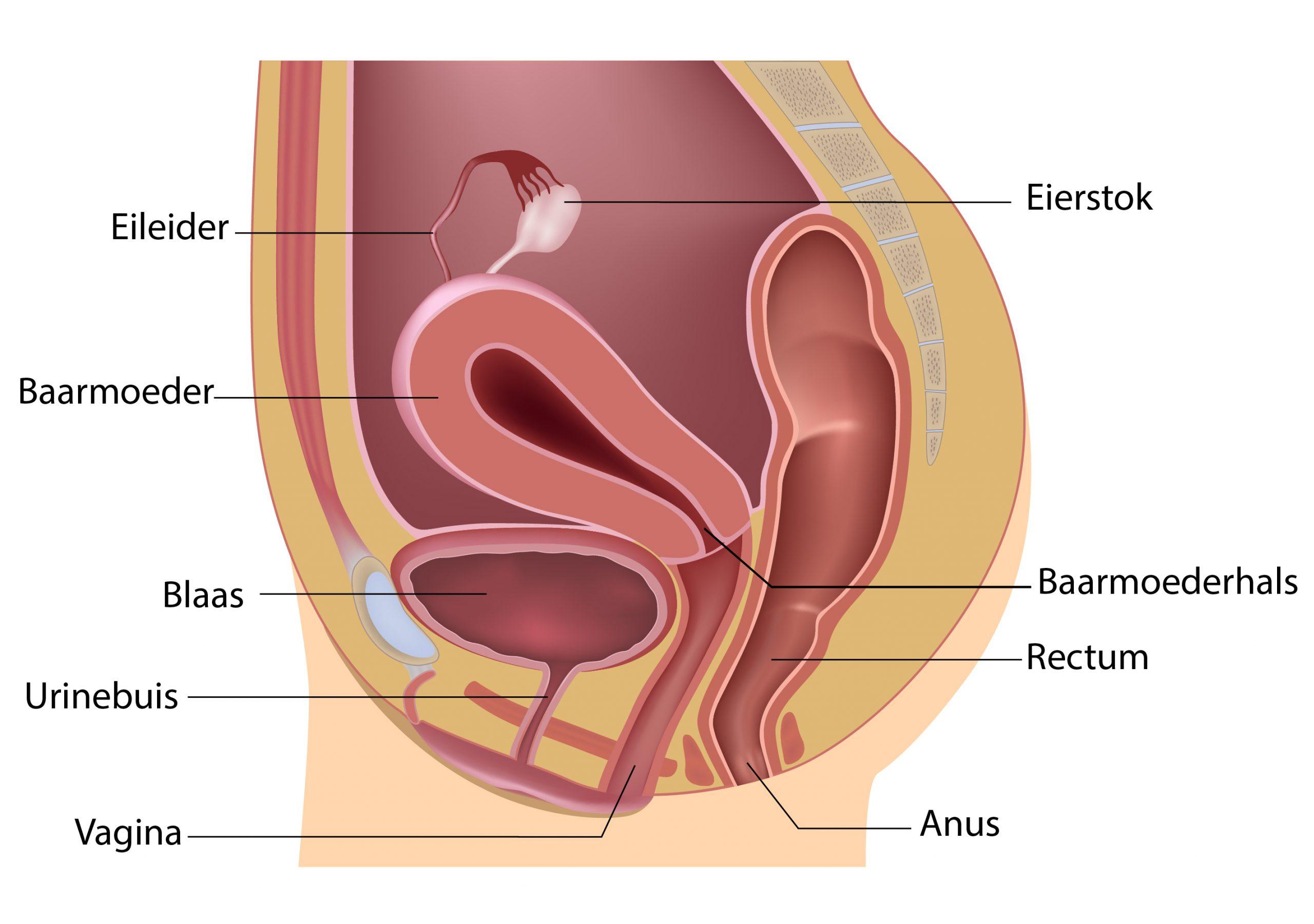 Zijwaarts anatomie.jpg